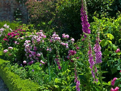 Rosa Jacques Cartier with foxgloves